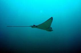 eagle-ray-swimming-along-banda-besar