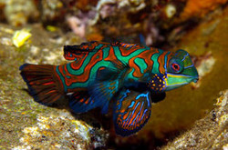 the-mandarin-fish-is-very-easy-to-see-in-front-of-our-dive-centre