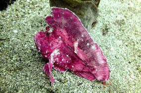 pink-leaf-scorpionfish-in-keraka