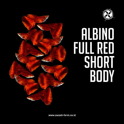 ALBINO FULL RED SHORT BODY
