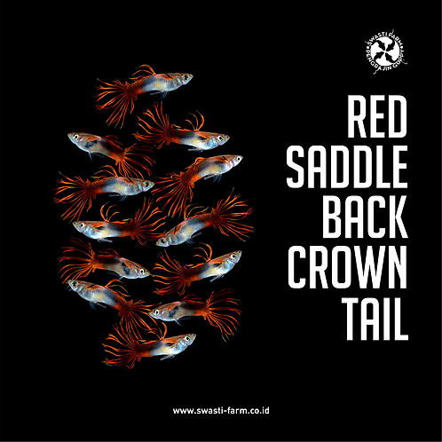 RED SADDLE BACK CROWN TAIL