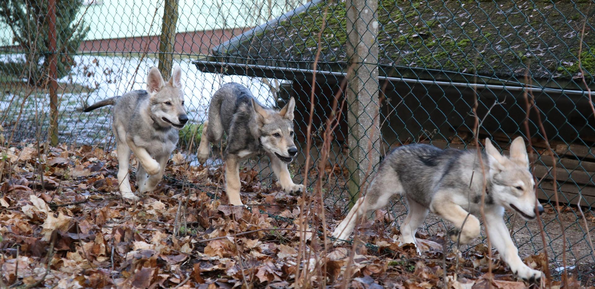 3 Wölfchen on Tour