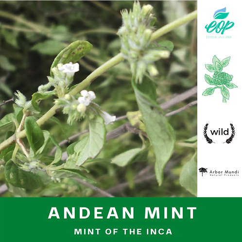 Wholesale Andean Mint (Muña) Essential Oil