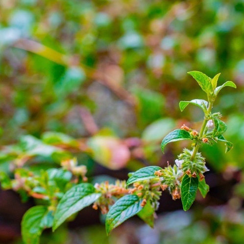 Andean Mint (Muña) Essential Oil