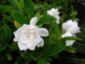 white gardenias.jpg