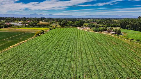 Field Sweet Corn