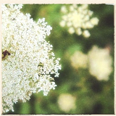Queen Anne's Lace by Terri Kirby Erickson