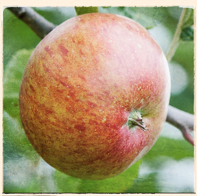 Lord Lambourne apple