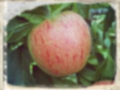 charles ross apple, habitat aid