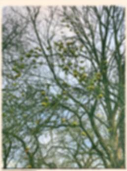 London Pippin apple tree