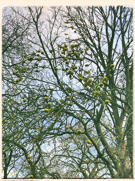 London Pippin apple tree