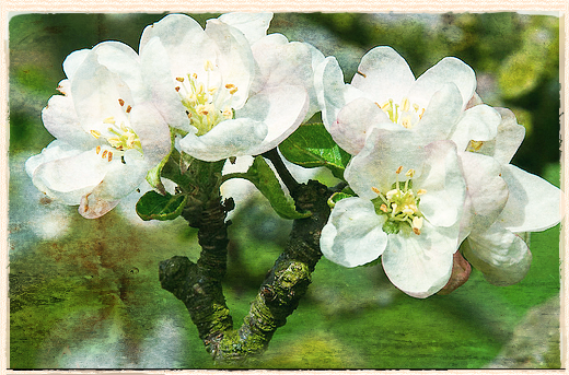 Lady Sudeley blossom