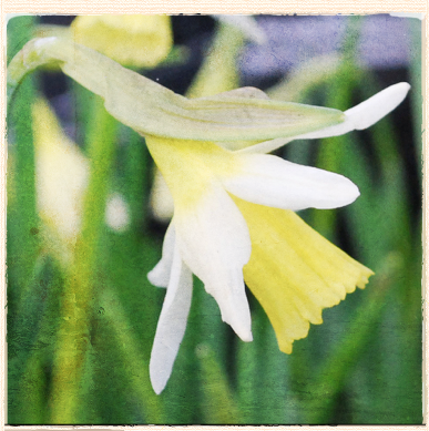 February in the Gardens: First Daffodils and Fool's Spring