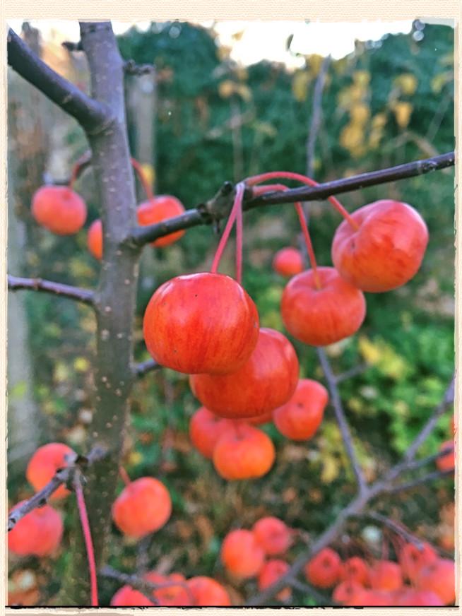 November In The Gardens: Bats, Berries and Crimson Bramleys