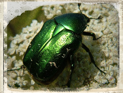Roe chafer beetle