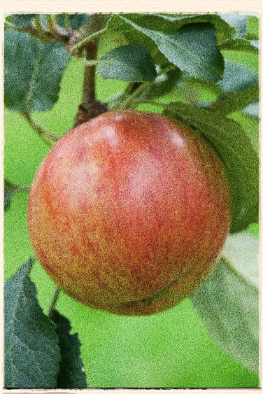 Laxton's Fortune apple