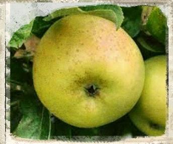 Queen Caroline apple