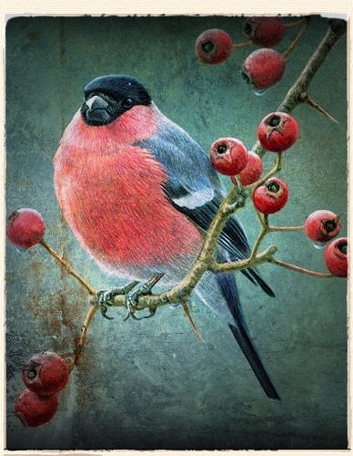 bullfinch by Andrew Hutchinson