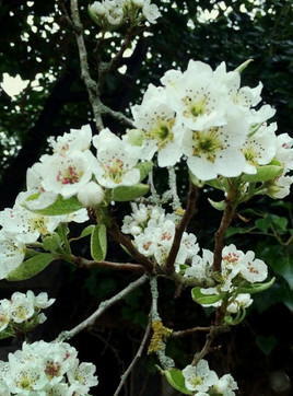 My Blossomed Pear Tree
