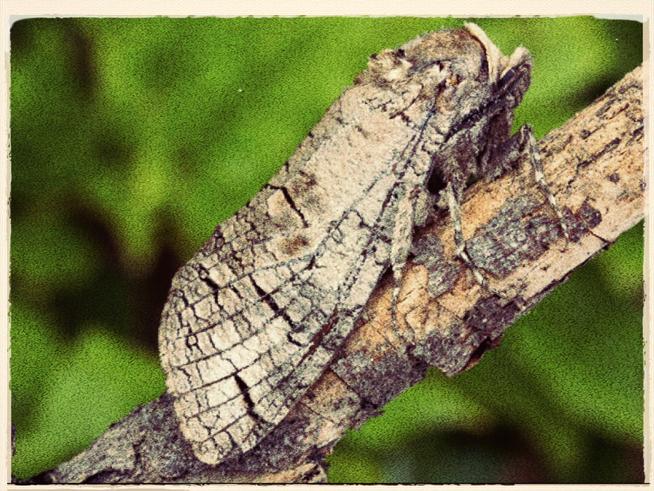 The Rare, Huge And Odoriferous Goat Moth