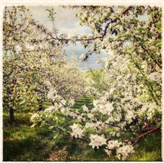 Ashmead's Kernel blossom