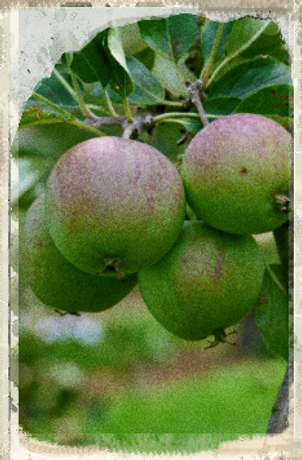 Allington Pippin apple