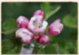 Annie Elizabeth blossom