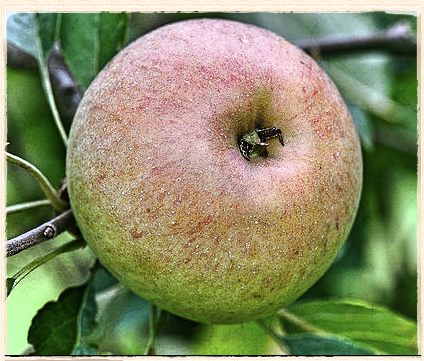 Our Apple For December:  Allington Pippin
