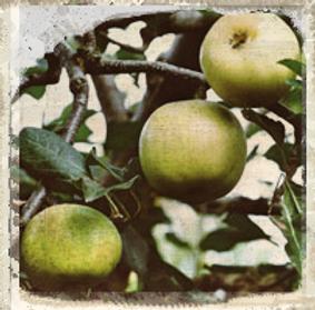 Dumelow's Seedling, Bernwode Fruit Trees