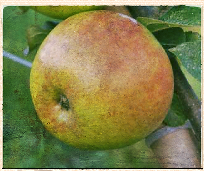 Schoolmaster apple