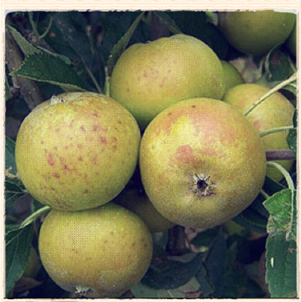 Nonpareil apple