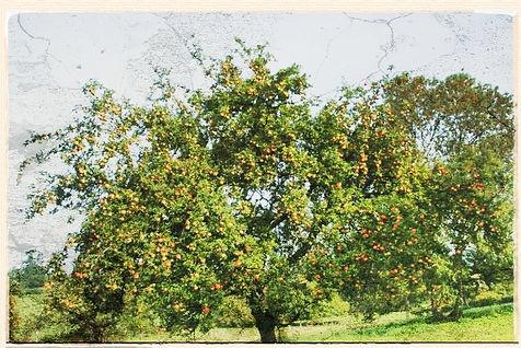 Manx Codlin tree