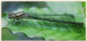 female azure damselfly