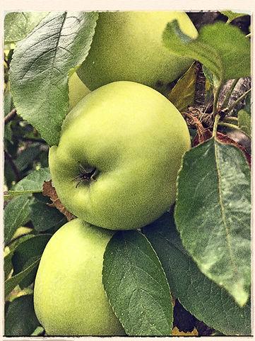Nelson's codlin apple