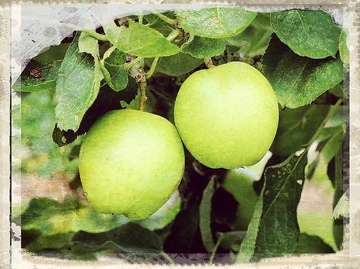 Manx Codlin apple