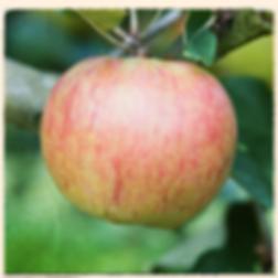 Newton Wonder apple