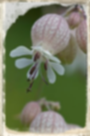 bladder campion by anne sorbes