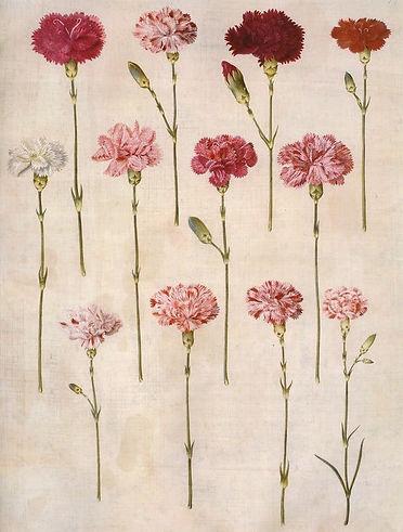 illustration of pinks