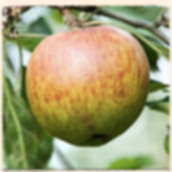 Margil apple