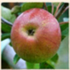 Laxton's Superb apple