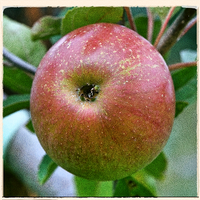 Laxton's Superb apple