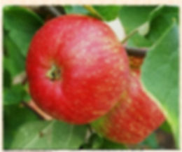 Red Lady Sudeley apple