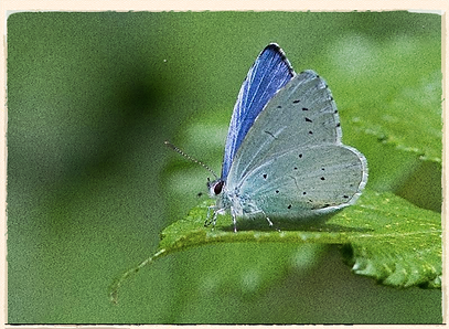 male holly blue butterfly