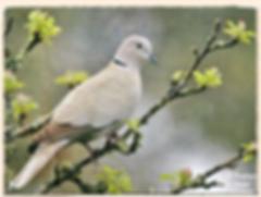 collared dove by Nicole Bouglouan