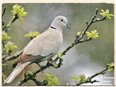 collared dove by Nicole Bouglouan