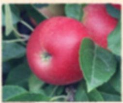 Discovery Apple, Keepers Nursery