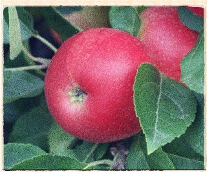 Discovery Apple, Keepers Nursery