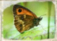 Gatekeeper butterfly by Liam Lysaght