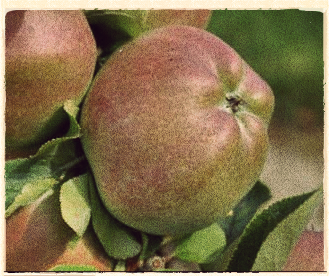 Our Apple for January: London Pippin