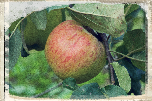 Our Apple For July: Lane's Prince Albert